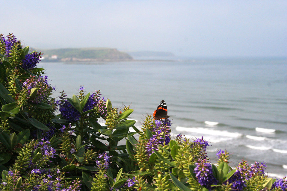 A butterfly on purple flowers by the coast : Free Stock Photo