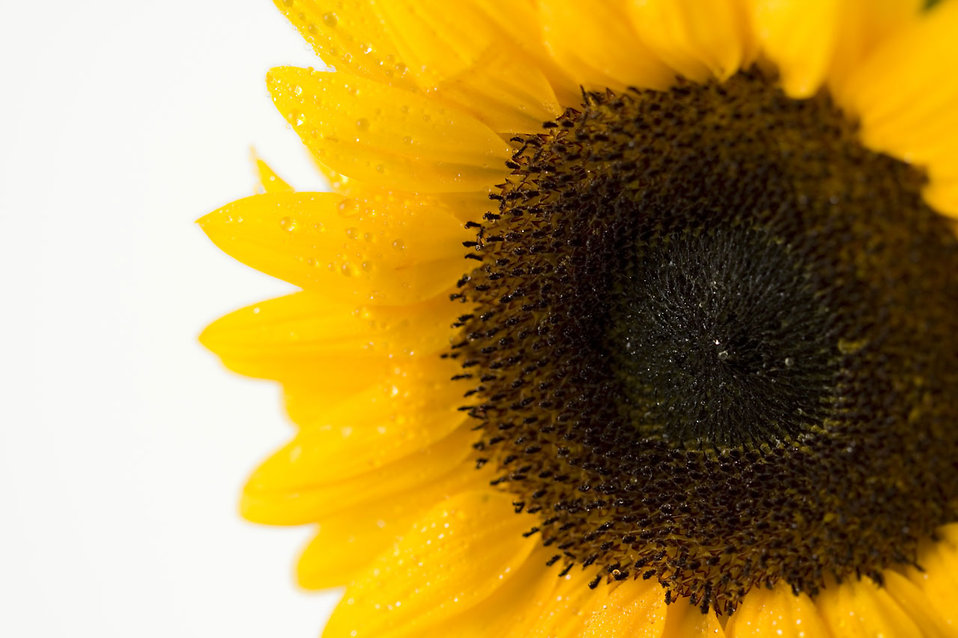 Close-up of a sunflower isolated on a white background : Free Stock Photo