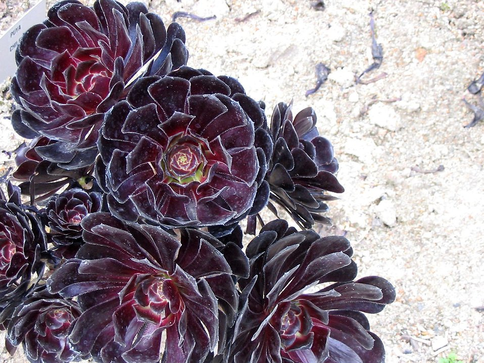 Aeonium flower on dry rocks : Free Stock Photo