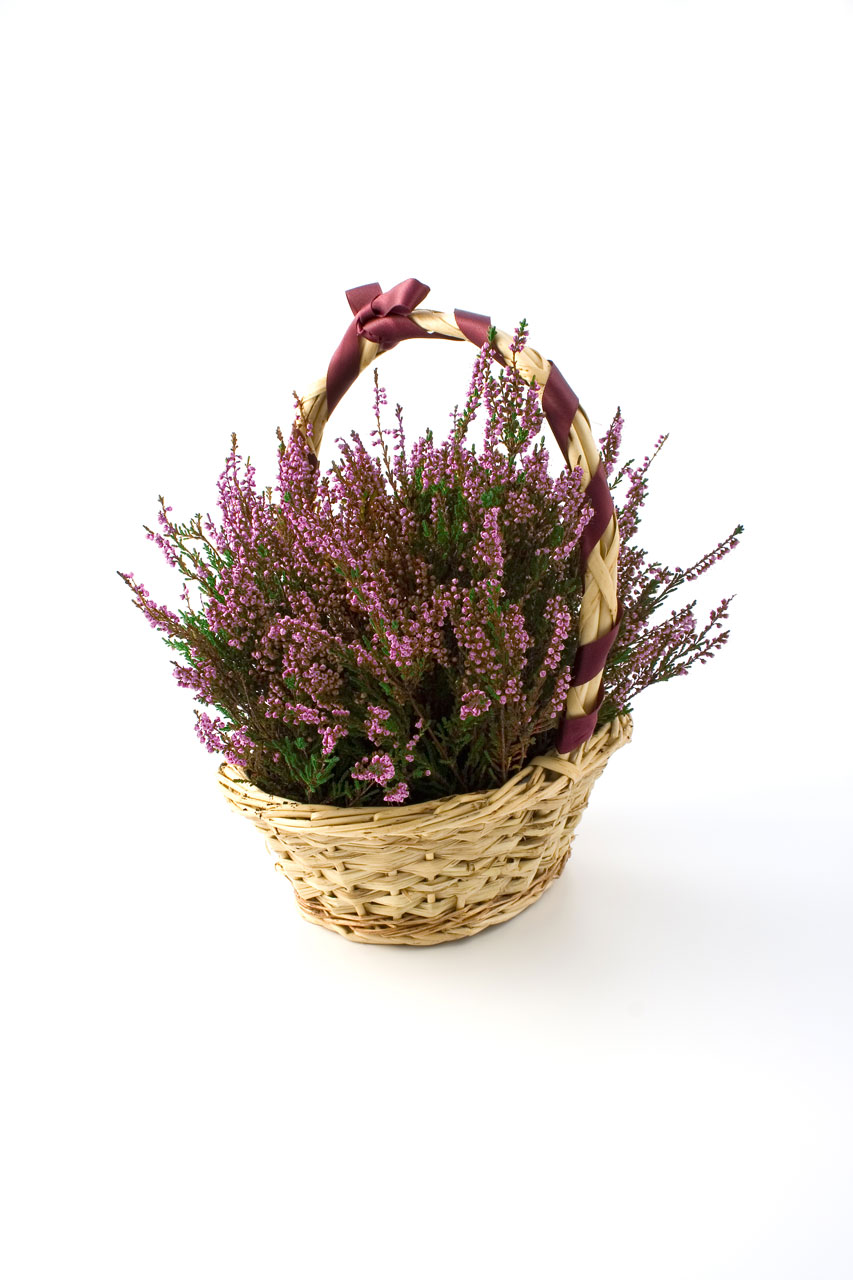 Heather in a basket with a purple bow isolated on a white background : Free Stock Photo
