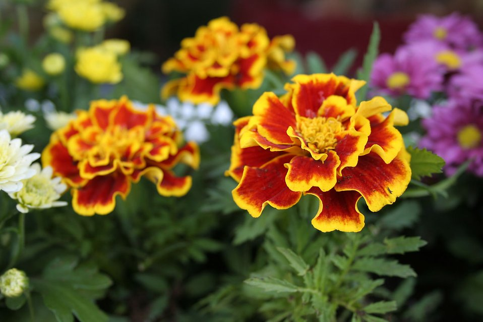 Red and yellow American marigold flowers : Free Stock Photo