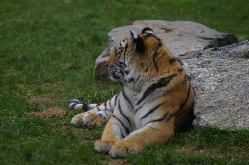 A Siberian tiger sitting by a rock : Free Stock Photo
