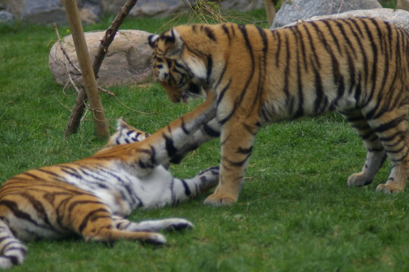 A pair of Siberian tigers playing in the grass : Free Stock Photo
