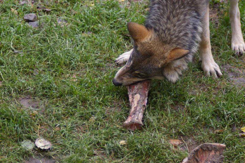 A wolf eating some meat on the ground : Free Stock Photo