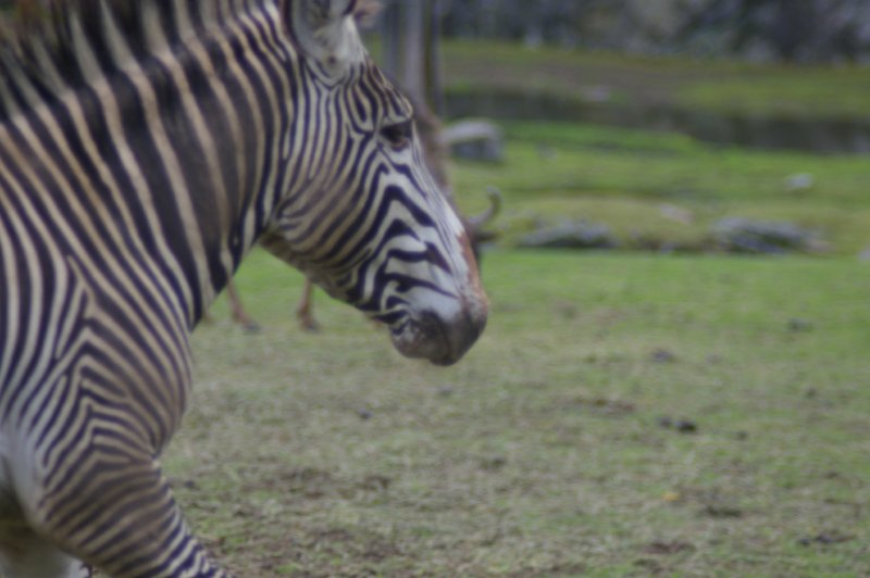 Close-up of a zebra : Free Stock Photo