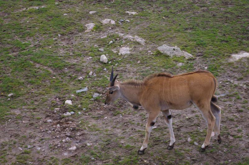An eland antelope : Free Stock Photo