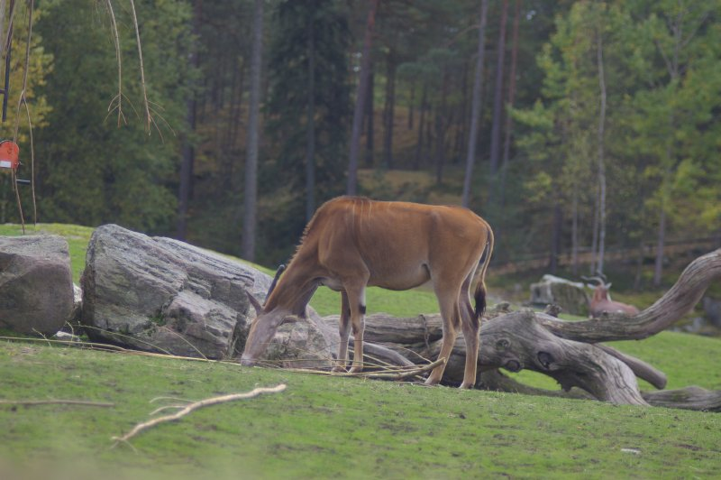 An eland antelope : Free Stock Photo
