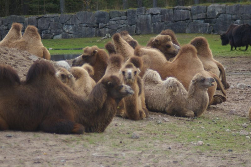 A group of Bactrian camels sitting on the ground : Free Stock Photo