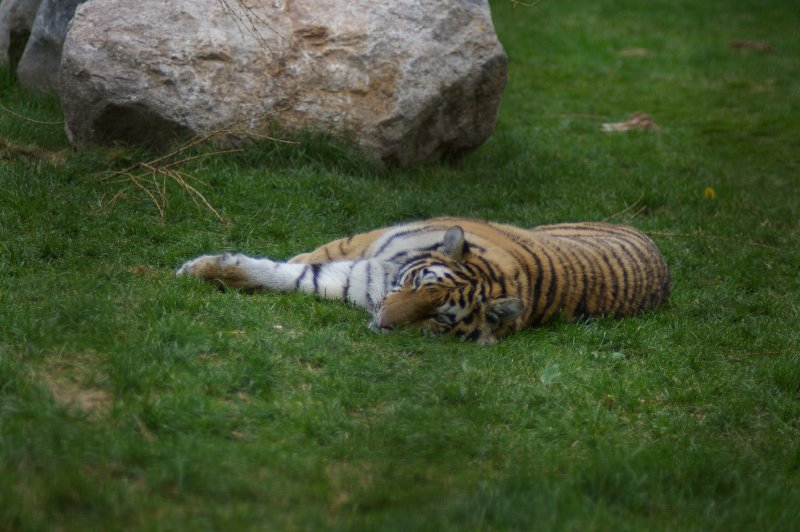 A Siberian tiger lying in the grass : Free Stock Photo