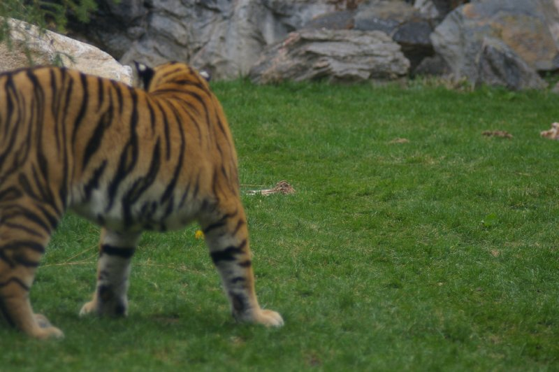 A Siberian tiger in the grass : Free Stock Photo