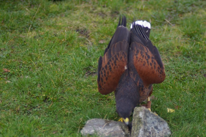 A Harris hawk walking in the grass : Free Stock Photo