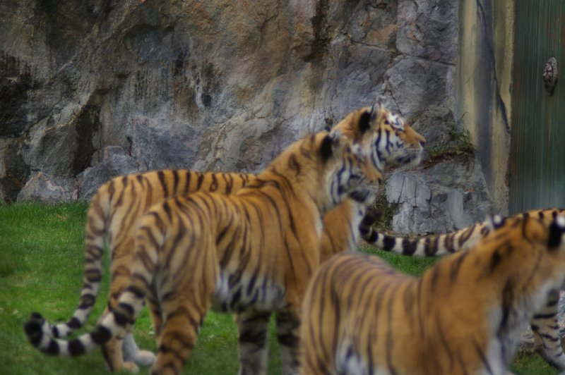 A group of Siberian tigers : Free Stock Photo