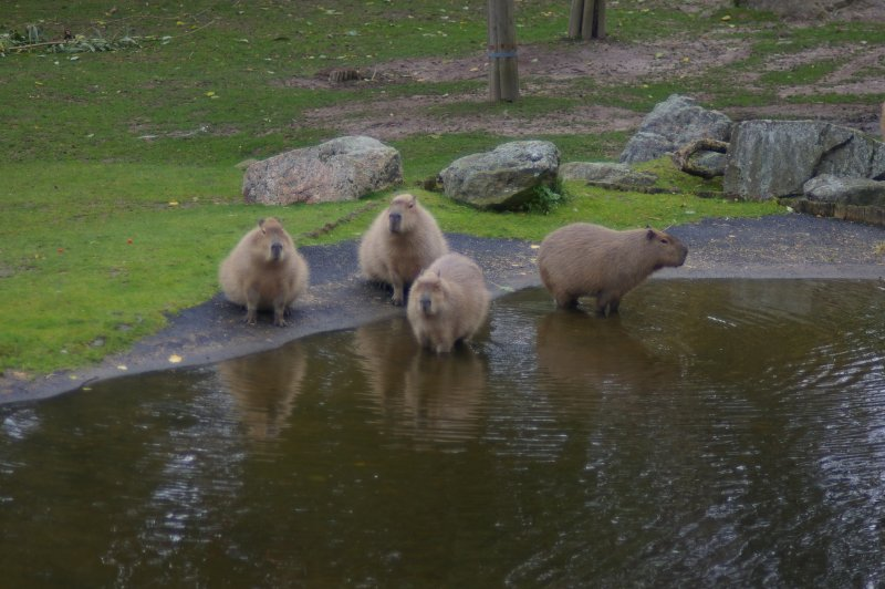 A group of capybara by some water : Free Stock Photo