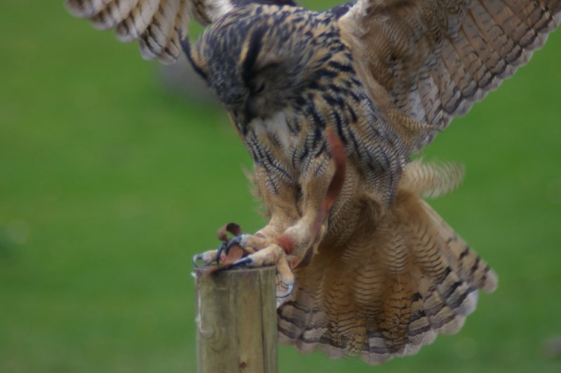 An eagle owl landing on a branch : Free Stock Photo
