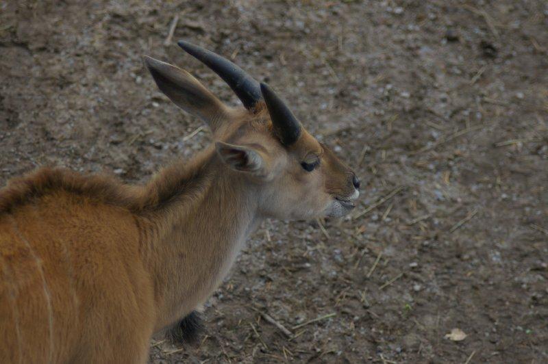 Close-up of an eland antelope : Free Stock Photo