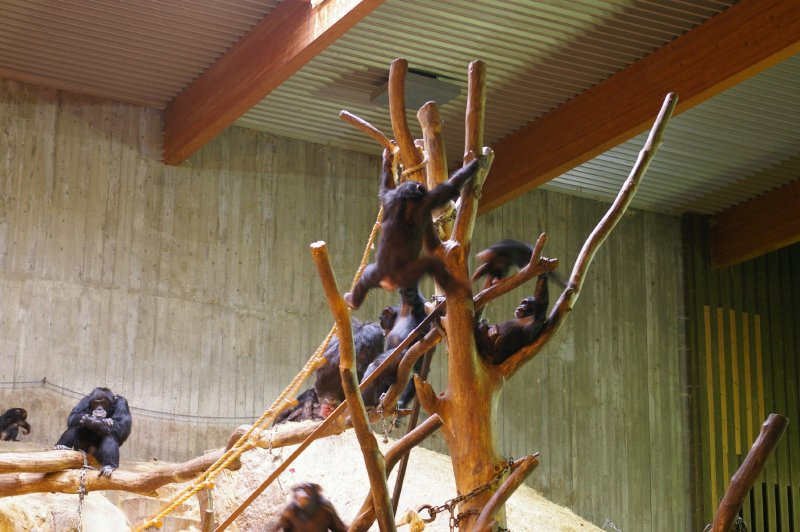 A group of chimpanzees in an indoor habitat : Free Stock Photo
