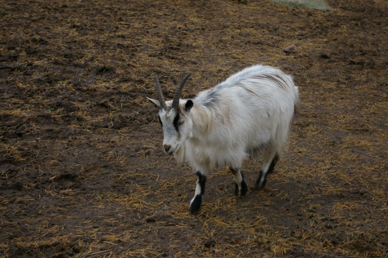 A white goat : Free Stock Photo
