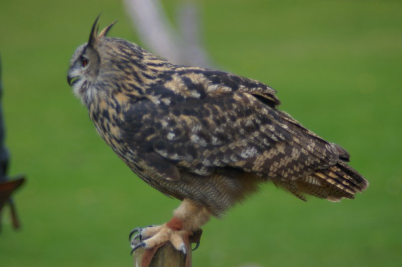 An eagle owl landing perched on a branch : Free Stock Photo