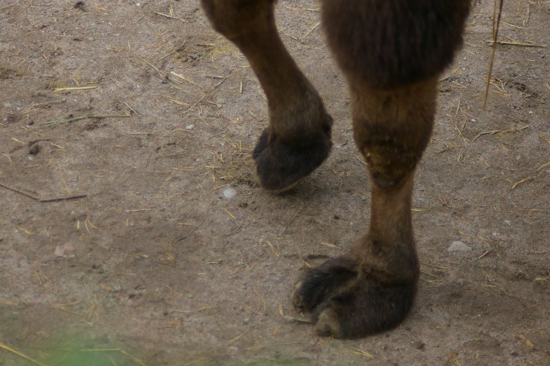 Close-up of the hooves of a Bactrian camel : Free Stock Photo
