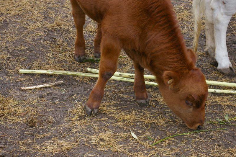 A small brown calf : Free Stock Photo
