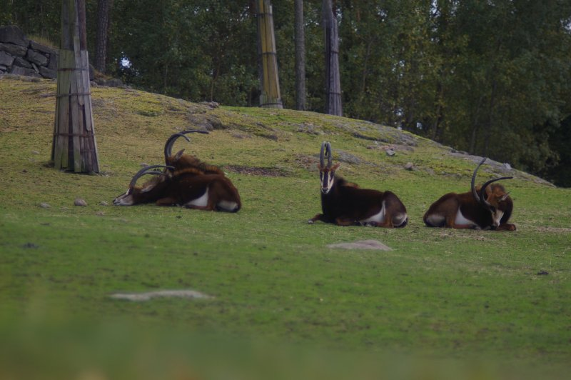 A group of sable antelope in the grass : Free Stock Photo