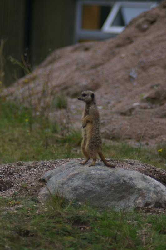 A meerkat standing on a rock : Free Stock Photo