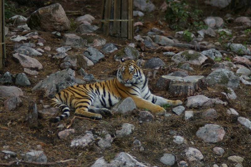 A Siberian tiger lying in some rocks : Free Stock Photo