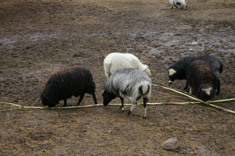 A group of sheep and goats : Free Stock Photo