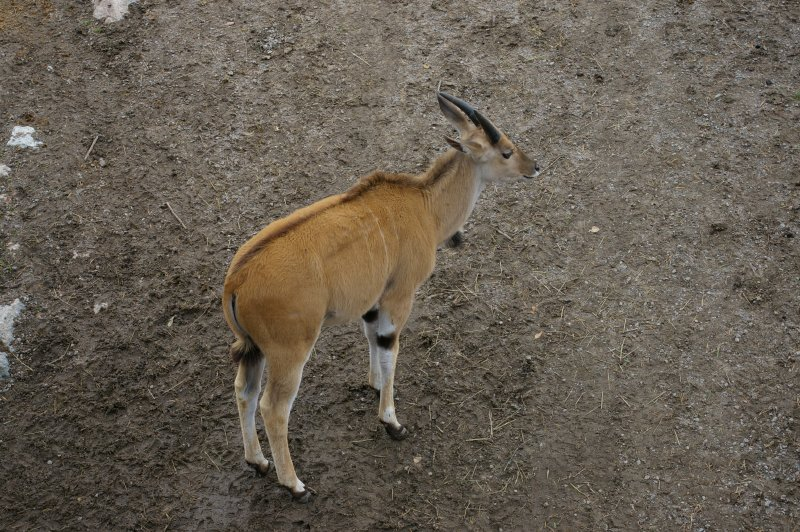 An eland antelopes : Free Stock Photo