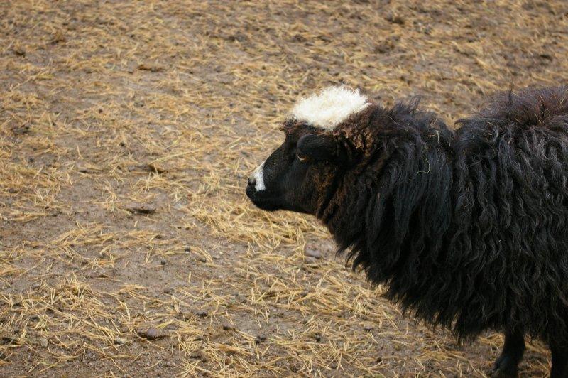 A black sheep : Free Stock Photo