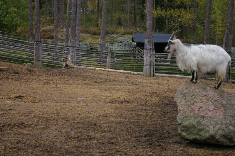 A goat standing on a rock : Free Stock Photo