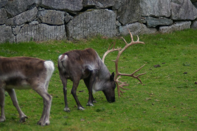 A group of reindeer in the grass : Free Stock Photo