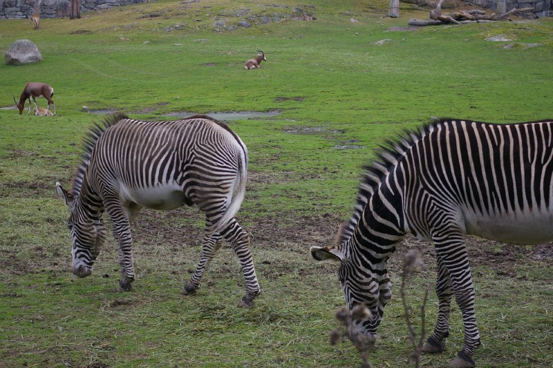 A group of zebras on the grass : Free Stock Photo