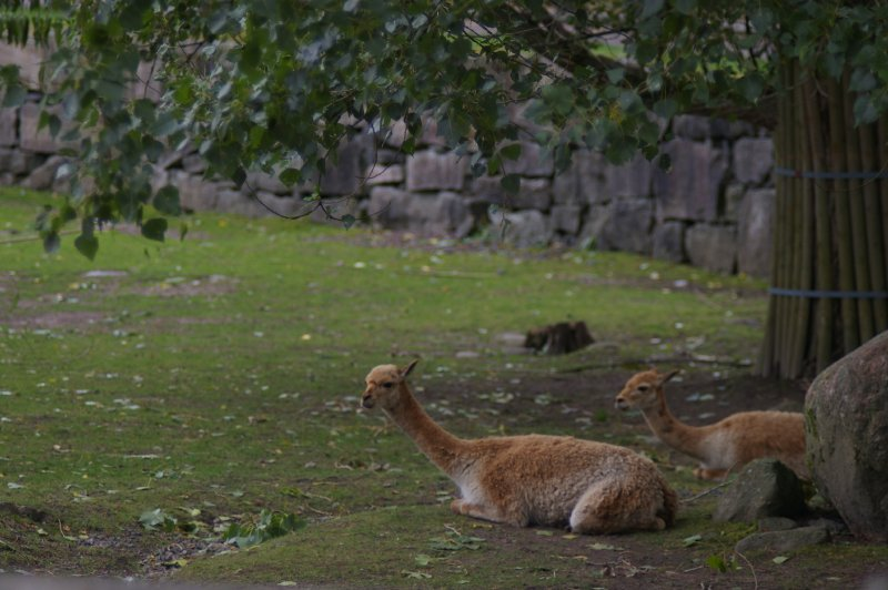 A group of vicuna lying in the grass : Free Stock Photo