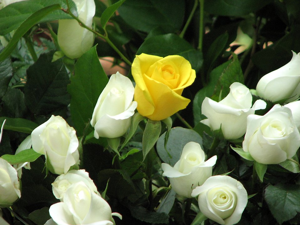 White and yellow roses : Free Stock Photo