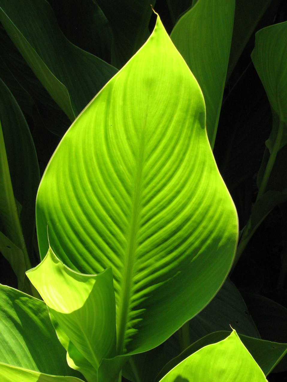 A large green leaf in the sun : Free Stock Photo