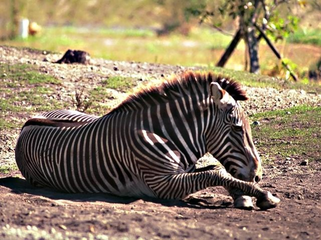 A zebra lying on the ground : Free Stock Photo