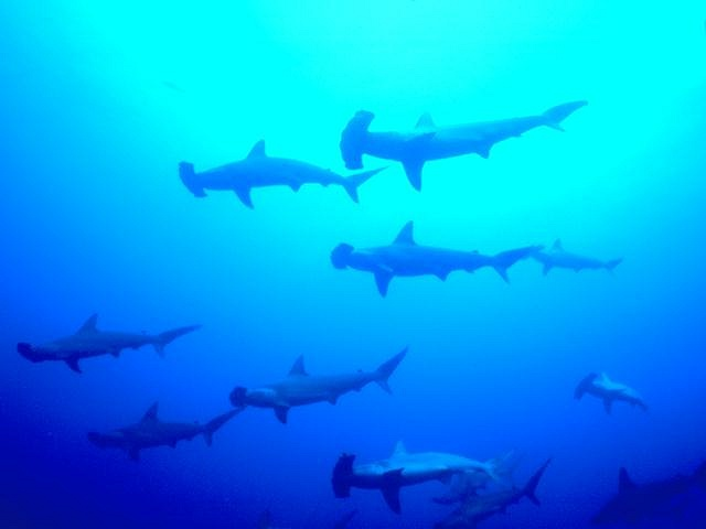 Hammerhead sharks swimming in the ocean : Free Stock Photo