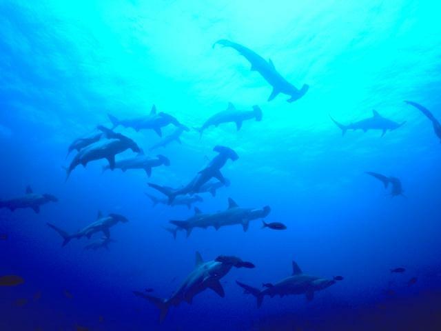 Hammerhead sharks swimming in the ocean : Free Stock Photo