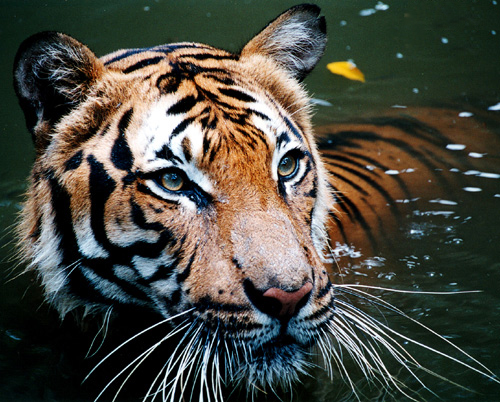 Close-up of a tiger in the water.