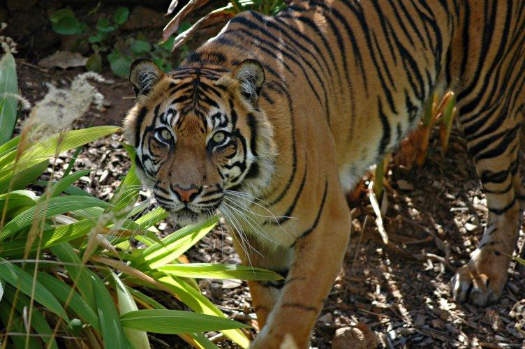 A Sumatran tiger in the jungle : Free Stock Photo