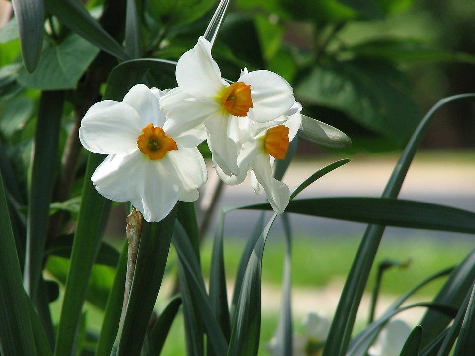 Daffodils free stock photo white and yellow daffodil flowers white and yellow daffodil flowers free stock photo mightylinksfo