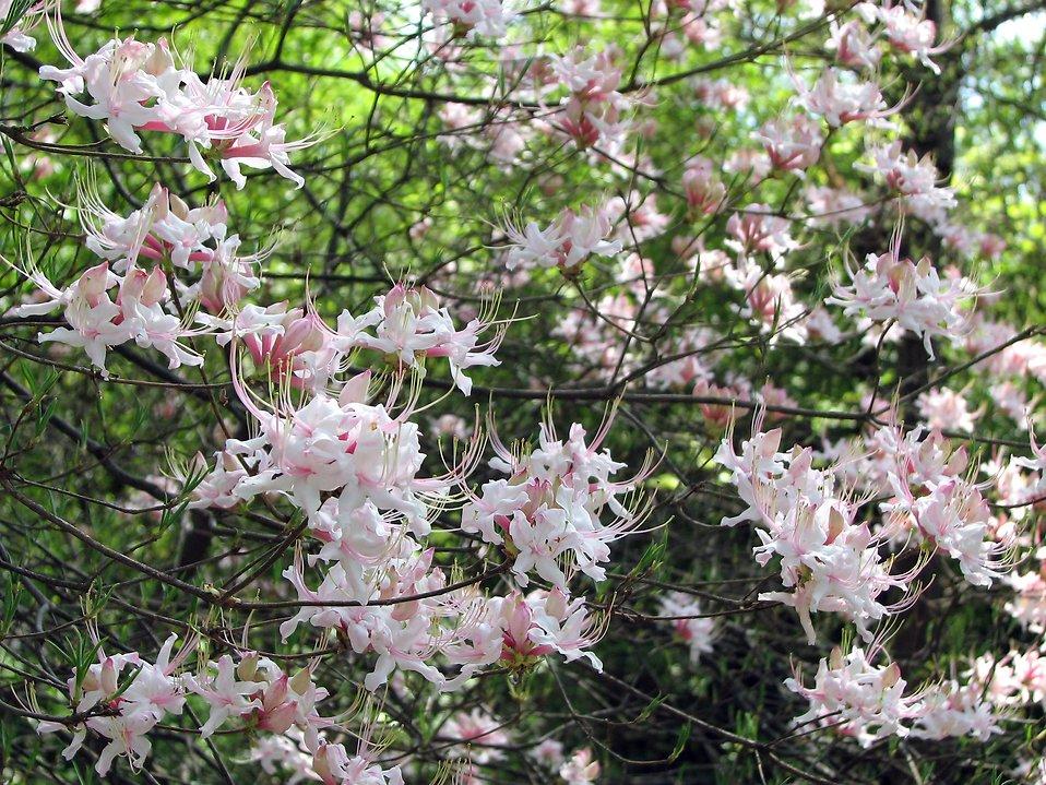 Pink and white azalea flowers : Free Stock Photo