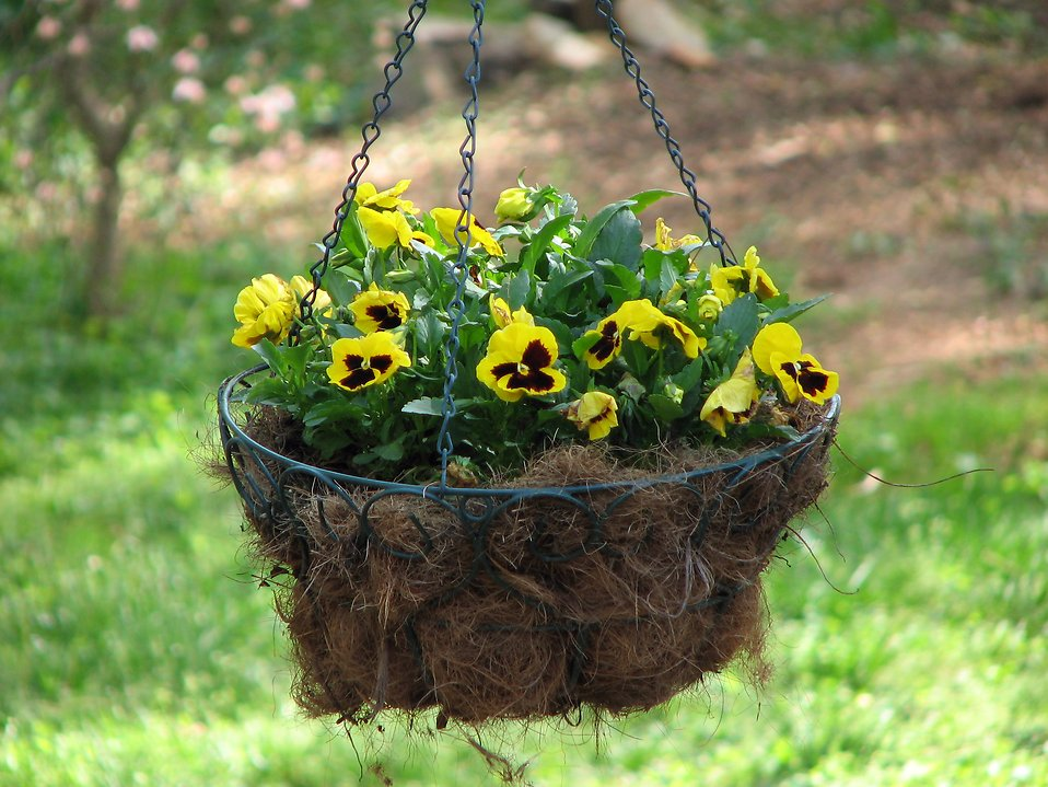 Yellow flowers in a hanging basket : Free Stock Photo
