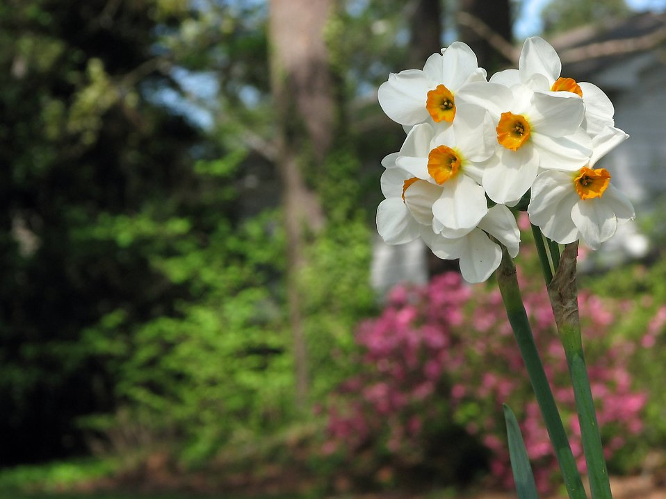 White and yellow daffodil flowers : Free Stock Photo