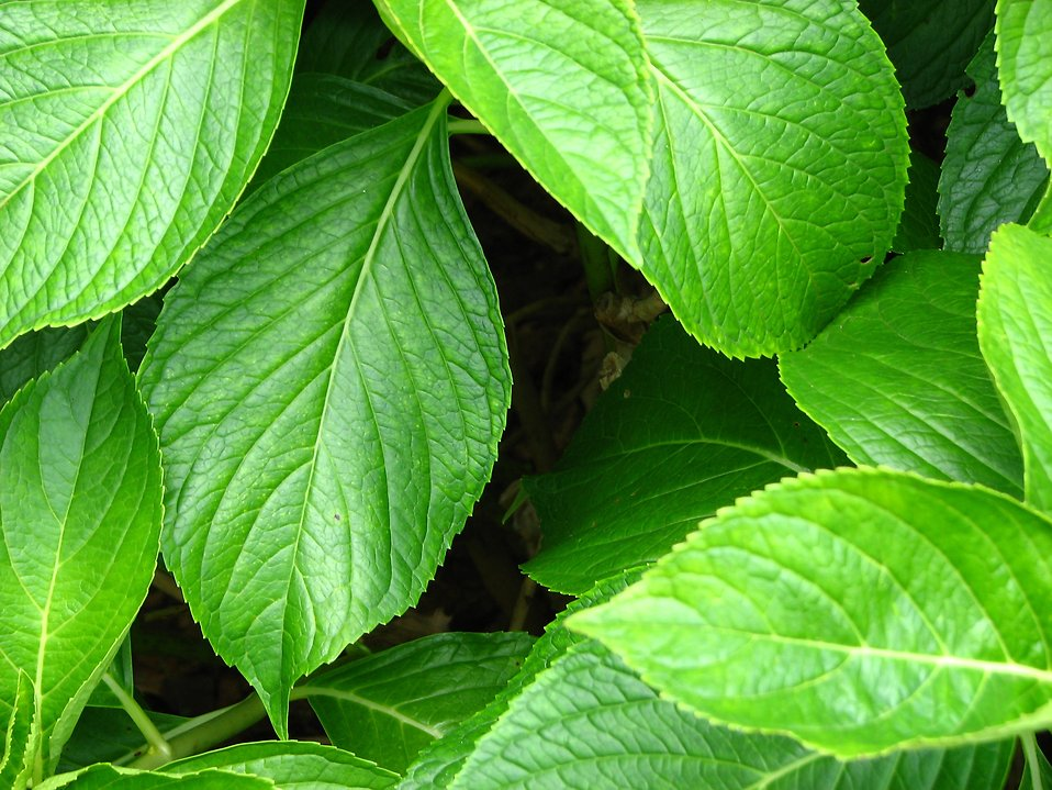 Close-up of large green leaves : Free Stock Photo