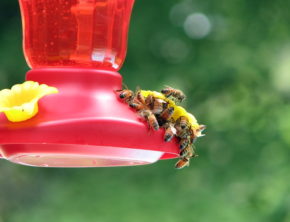 A group of honey bees on a feeder : Free Stock Photo