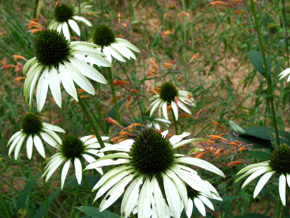 A bunch of white coneflowers : Free Stock Photo