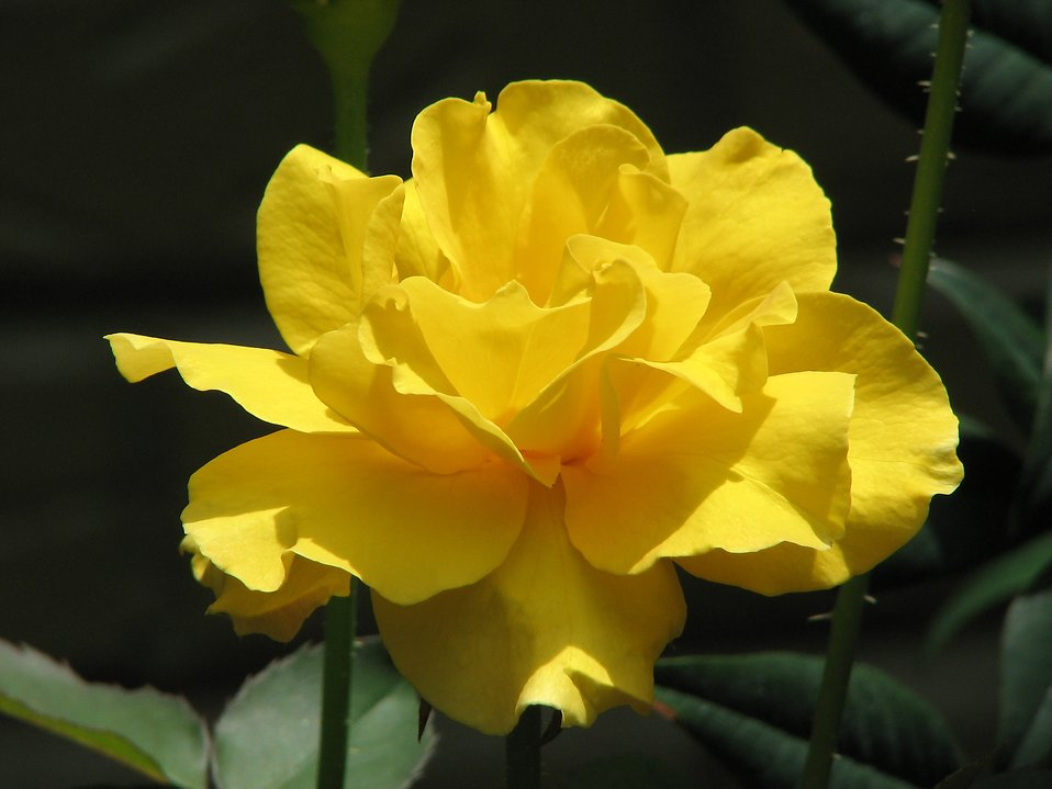 A yellow rose : Free Stock Photo