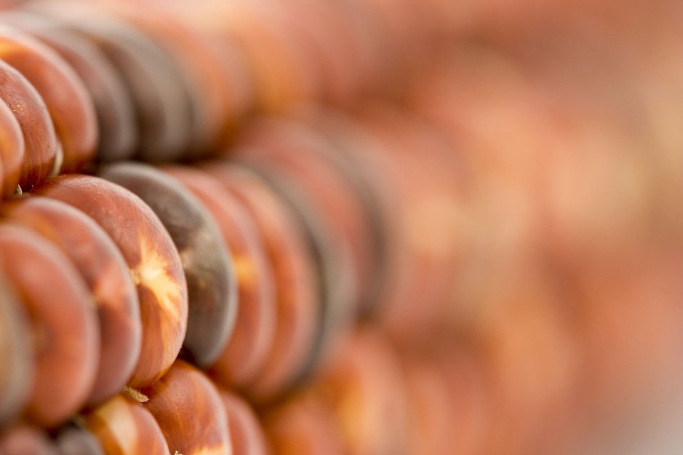 Close-up of red corn : Free Stock Photo